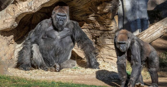 San Diego Zoo Apes Get an Experimental Covid Vaccine