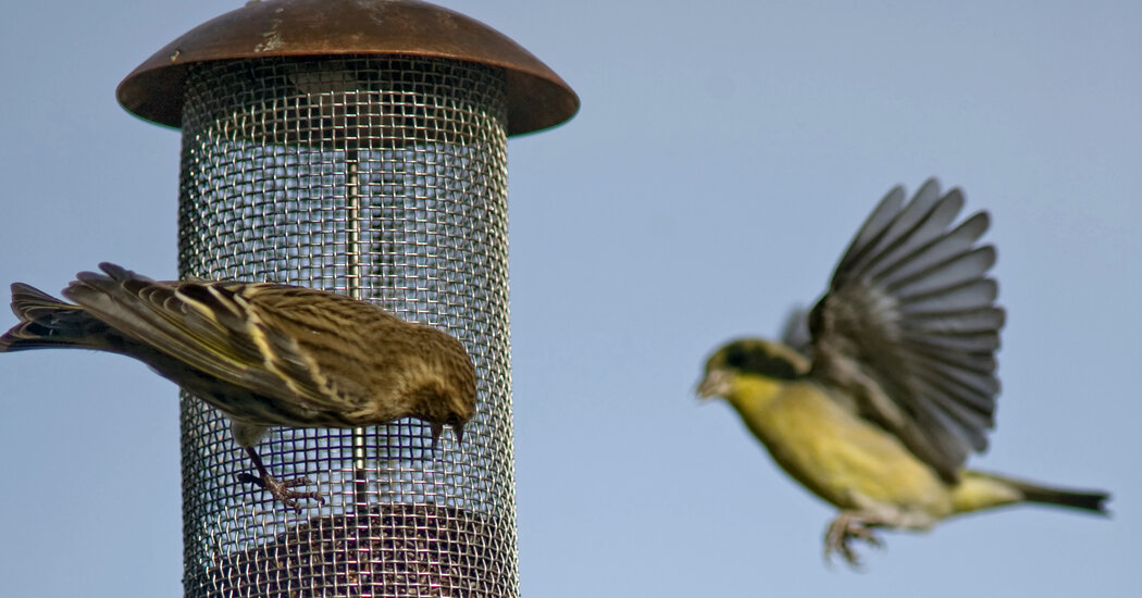 Salmonella Outbreak Is Linked to Wild Birds and Feeders, C.D.C. Says