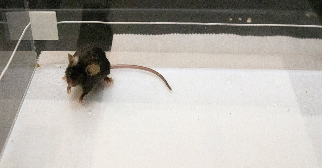 Scientists Drove Mice to Bond by Zapping Their Brains With Light