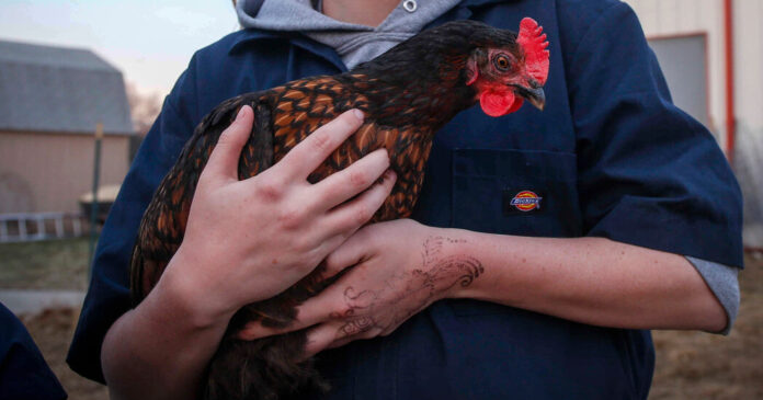 Stop Kissing and Snuggling Chickens, C.D.C. Says After Salmonella Outbreak
